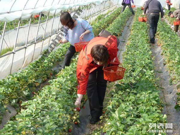上海周边农家乐旅游 钓鱼烧烤 采草莓西瓜 吃土菜看海