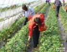 上海近郊农家乐 采草莓摘西瓜 拓展活动 吃土菜游滴水湖