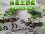 有機生根粉活性生根菌扦插生根劑壯苗粉廠家誠招代理商快速增根