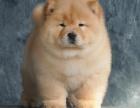 佛山纯种松狮价格 佛山哪里能买到纯种松狮犬