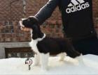 翼翔犬舍双血统展示型史宾格幼犬寻靠谱家长