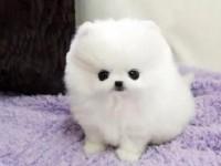 广州最大狗场 博美犬等品种三百起 特价直销世界名犬