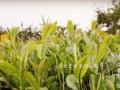 自家种植 正宗崂山红茶 正宗崂山绿茶 礼盒