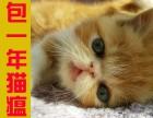 家养正八字黄白和黄虎斑加菲猫宝宝,包一年猫瘟,内含视频