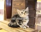 重庆什么地方有卖宠物猫美短 纯种美短价格