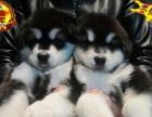 中山信誉狗场—飞翔专业繁殖基地 ——出售阿拉斯加幼犬