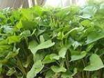 河北卢龙红薯淀粉红薯秧苗大量供应