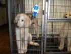 苏州那里有阿富汗猎犬卖 苏州阿富汗猎犬价格 阿富汗猎犬多少钱
