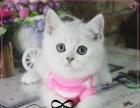 英短宠物猫英国短毛猫渐层英短蓝白活体宠物猫英短幼猫