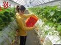 日本短期蔬菜包装女工