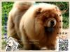 买纯种松狮犬 保纯保