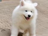 重庆犬舍出售玩耍萌美 萨摩耶幼犬纯种健康 洁白如雪微笑迷人