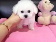 杭州长期繁殖出售泰迪犬 包纯种保健康 送货上门