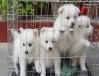 纯种银狐幼犬 保品质 保健康 保成活 优惠热卖中