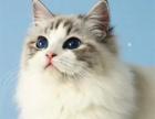 杭州猫舍出售布偶 加菲金吉拉 短英短渐层蓝白蓝猫各种折耳猫猫