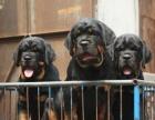 家养一窝纯种罗威纳可以签协议 来家里看狗父母