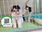 沈阳哪里有加菲猫出售 沈阳加菲猫价格 沈阳宠物猫转让出售