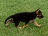 纯种黑背 德国黑背犬 品相一流 包健康 价格优惠