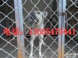 最好的血统中华狼青犬价格,中华狼青幼犬价格