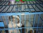 格力犬幼犬80天