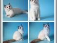 布偶猫妹妹弟弟海豹手套海豹双色蓝双色签协议的保证