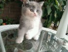 青岛哪里有英短猫卖 专业繁殖 公母均有 包纯种包健康