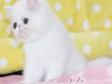 浙江台州双血统加菲幼猫猫舍直销