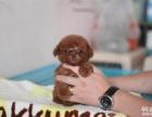 泰迪犬舍 泰迪价格 泰迪图片 泰迪犬多少钱 专业繁育