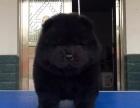 西宁哪里有犬舍卖松狮犬 西宁白色松狮 黑色松狮价格