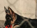 银川锤系德牧价格 北京专业繁育大头锤系德国牧羊犬 头大 脸黑