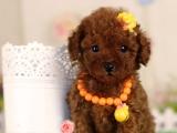 纯种双血统的泰迪犬哪里可以买的到