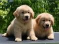 黔东南狗场直销金毛泰迪哈士奇萨摩耶秋田德牧阿拉斯加等各种名犬
