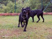 本犬舍出售纯种卡斯罗幼犬公母都有虎皮色黑色保质保量