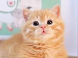 曼基康矮脚幼崽短毛蓝白美短拿破仑短腿猫咪