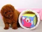 泰迪多少钱 犬舍直销纯种健康可爱的泰迪 血统终身保障