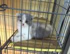 折耳猫 英短 美短 豹猫 蓝猫 布偶猫 纯种健康