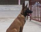 常年出售马犬幼犬