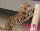 价格面议 出售纯种赛级孟加拉豹猫种公