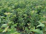 生态宝基地直供红桔苗,香橙苗,枳壳苗,2年原生苗量大从优