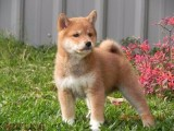 常年出售高品宠物犬幼犬,保健康签协议,品种齐全