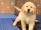 兰州金毛犬价格 哪里卖纯种金毛 美系金毛价格