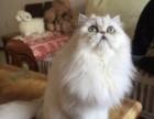 英国高地美女猫