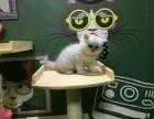 广州什么地方有猫舍卖金吉拉/哪里有卖金吉拉