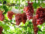陕西供应红提红提葡萄苗木