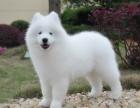 上海澳版微笑天使宝宝纯种健康赛级萨摩耶幼犬出售