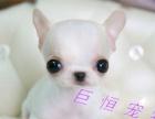 袖珍黄白花吉娃娃幼犬 苹果头金鱼眼 可刷卡