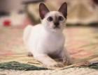 出售纯种 暹罗猫 可见父母 质保无忧 售后完善随时联系
