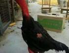 乌鲁木齐越南鬼子鸡多少钱一只