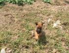 1个月的马里努阿犬1800元(公母均有)