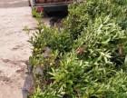 长沙脆皮金桔盆栽/湖南果树盆栽价格/脆皮金桔绿植/金桔年桔